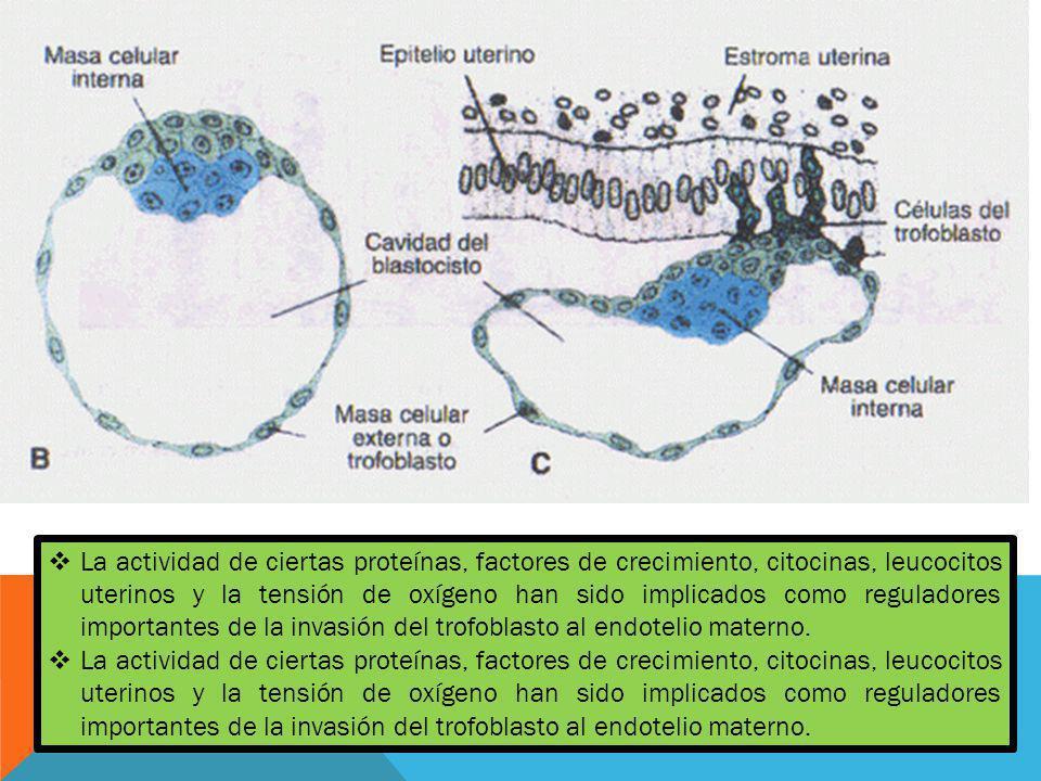 La actividad de ciertas proteínas, factores de crecimiento, citocinas, leucocitos uterinos y la tensión de oxígeno han sido implicados como reguladores importantes de la invasión del trofoblasto al endotelio materno.