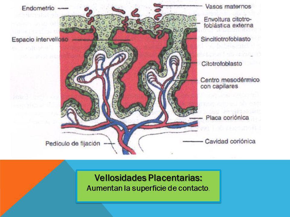Vellosidades Placentarias: Aumentan la superficie de contacto.