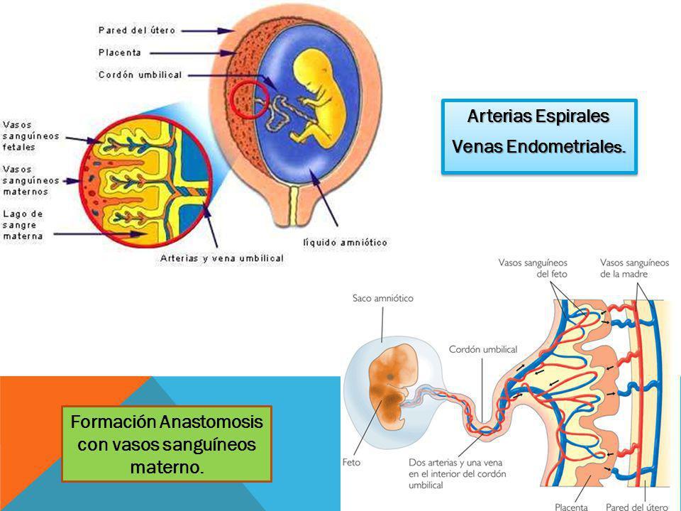 Formación Anastomosis con vasos sanguíneos materno.