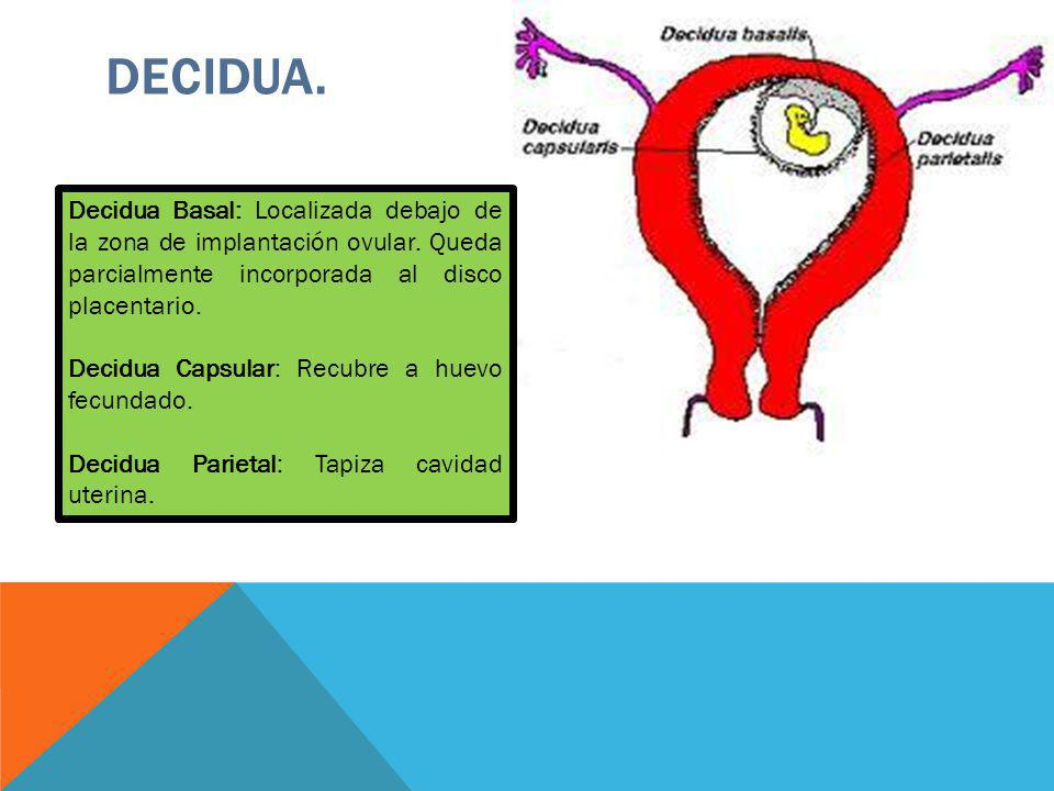 DECIDUA. Decidua Basal: Localizada debajo de la zona de implantación ovular. Queda parcialmente incorporada al disco placentario.