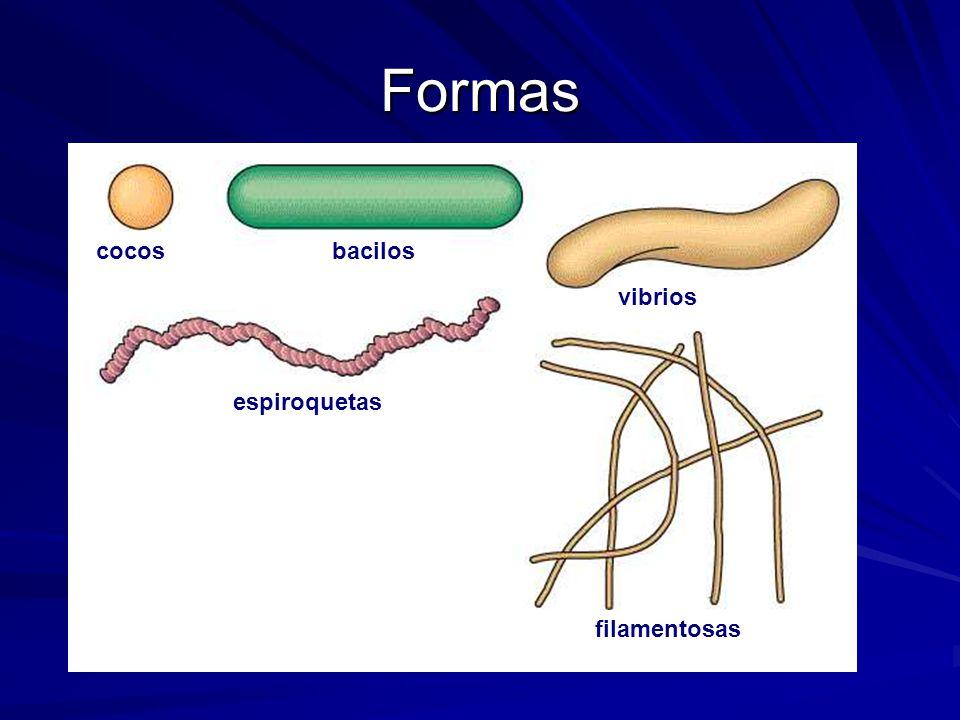 Formas cocos bacilos vibrios espiroquetas filamentosas