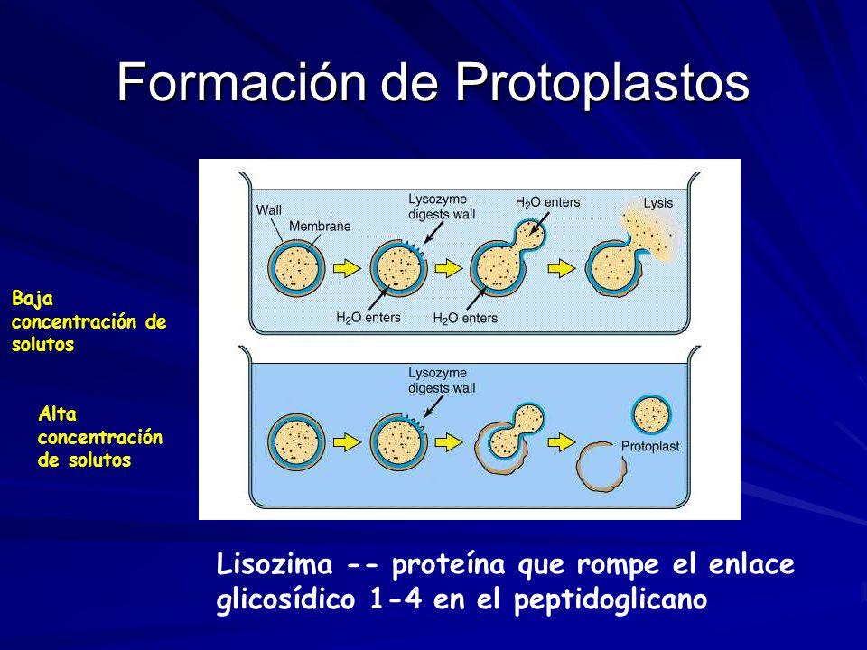 Formación de Protoplastos