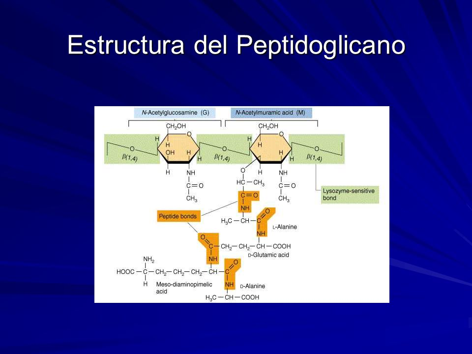 Estructura del Peptidoglicano