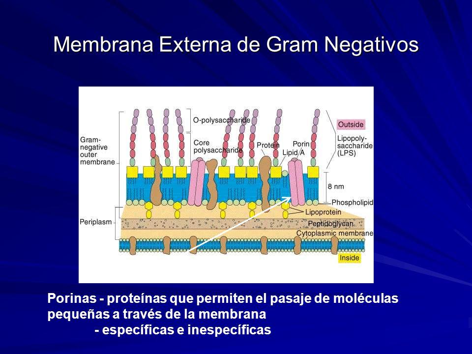 Membrana Externa de Gram Negativos