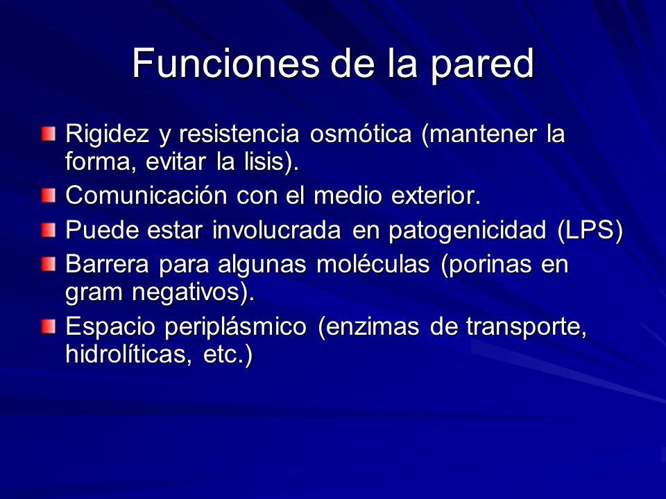 Funciones de la pared Rigidez y resistencia osmótica (mantener la forma, evitar la lisis). Comunicación con el medio exterior.