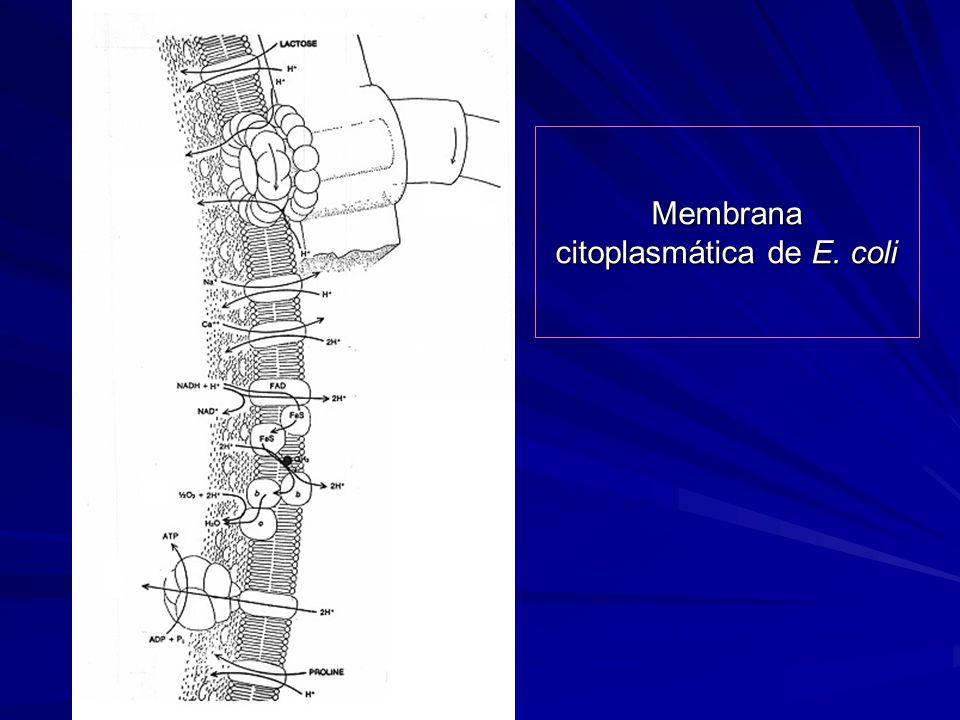 Membrana citoplasmática de E. coli