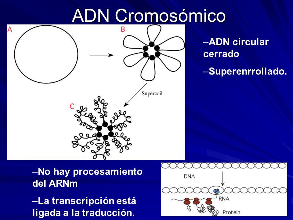ADN Cromosómico ADN circular cerrado Superenrrollado.