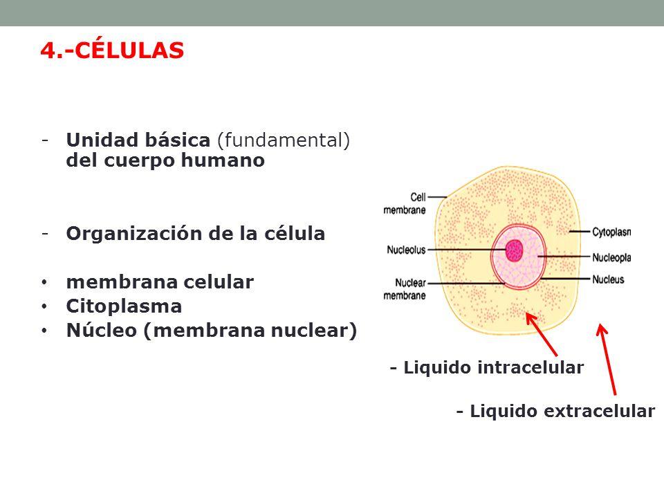 4.-CÉLULAS Unidad básica (fundamental) del cuerpo humano