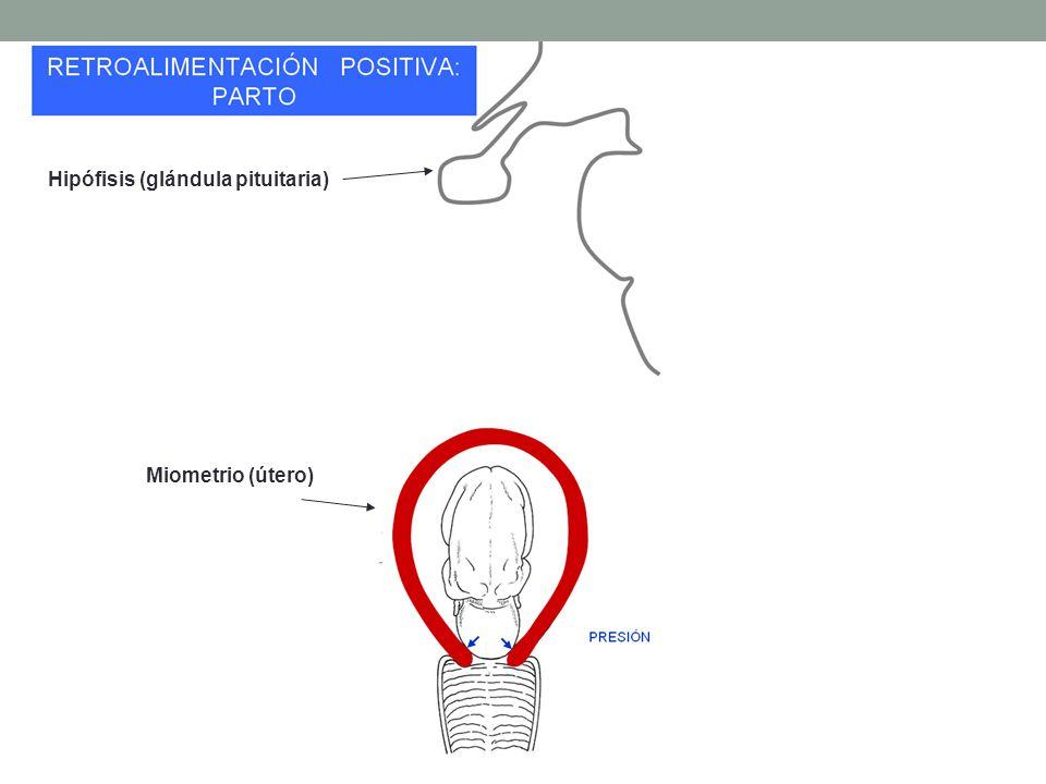 Hipófisis (glándula pituitaria)