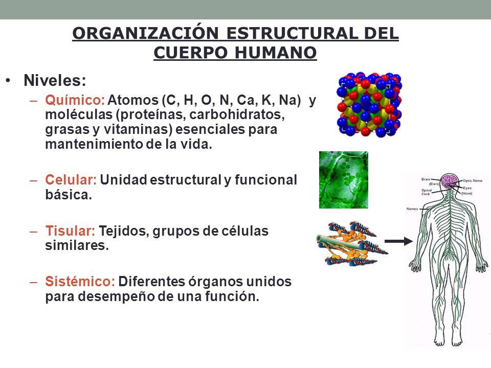 ORGANIZACIÓN ESTRUCTURAL DEL CUERPO HUMANO