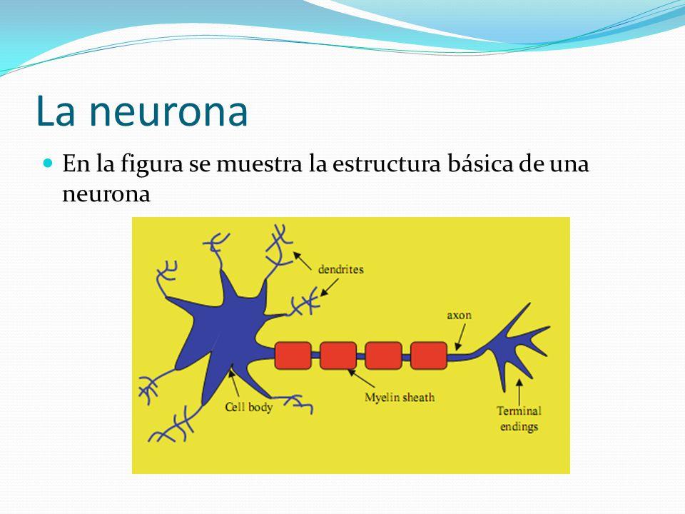 La neurona En la figura se muestra la estructura básica de una neurona