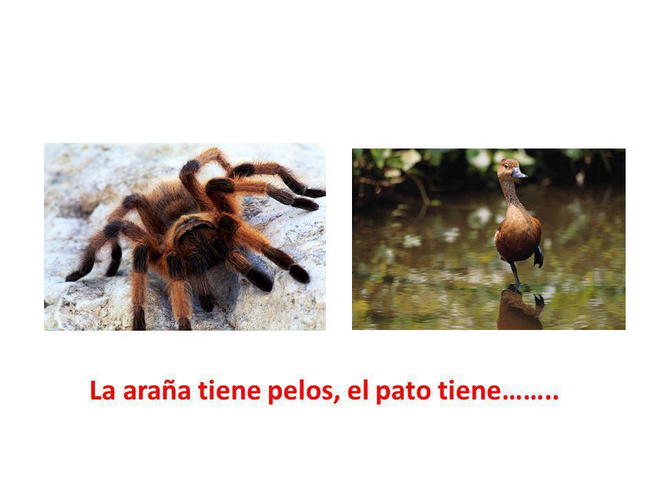 La araña tiene pelos, el pato tiene……..