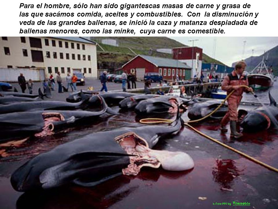 Para el hombre, sólo han sido gigantescas masas de carne y grasa de las que sacámos comida, aceites y combustibles. Con la disminución y veda de las grandes ballenas, se inició la caza y matanza despiadada de ballenas menores, como las minke, cuya carne es comestible.
