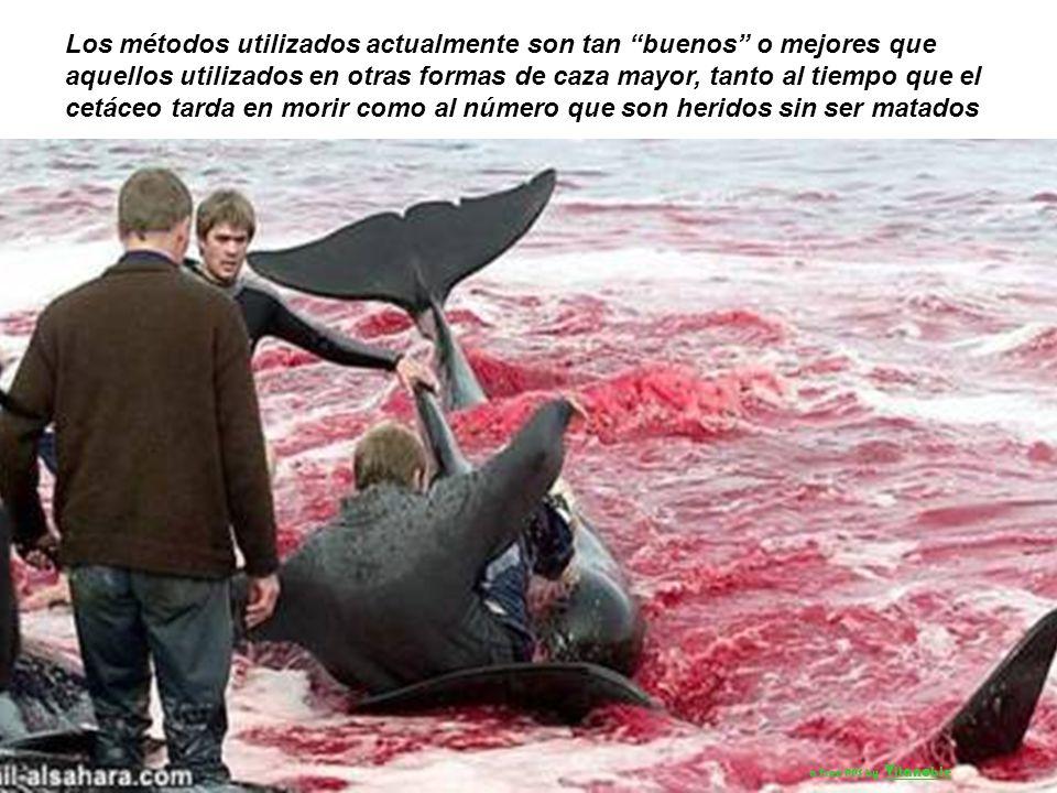 Los métodos utilizados actualmente son tan buenos o mejores que aquellos utilizados en otras formas de caza mayor, tanto al tiempo que el cetáceo tarda en morir como al número que son heridos sin ser matados