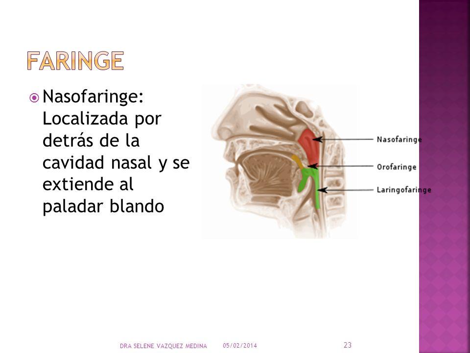 faringe Nasofaringe: Localizada por detrás de la cavidad nasal y se extiende al paladar blando.