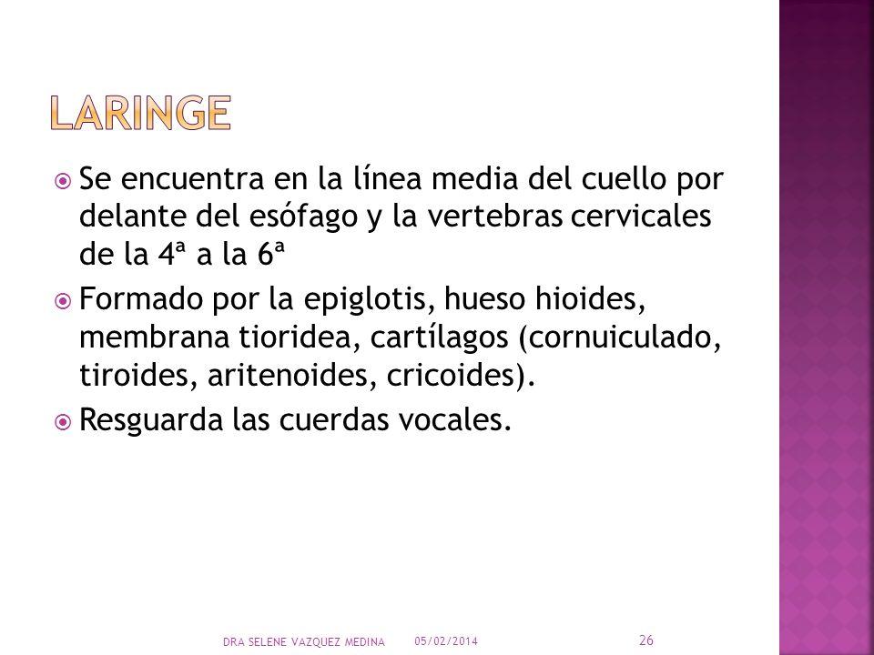Laringe Se encuentra en la línea media del cuello por delante del esófago y la vertebras cervicales de la 4ª a la 6ª.