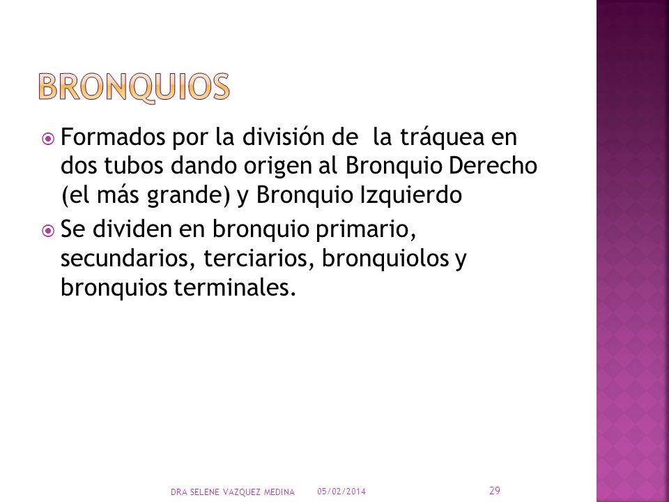 BRONQUIOS Formados por la división de la tráquea en dos tubos dando origen al Bronquio Derecho (el más grande) y Bronquio Izquierdo.