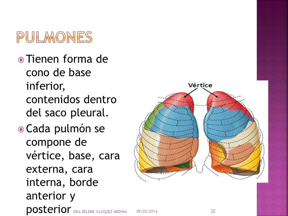 PulmonesTienen forma de cono de base inferior, contenidos dentro del saco pleural.