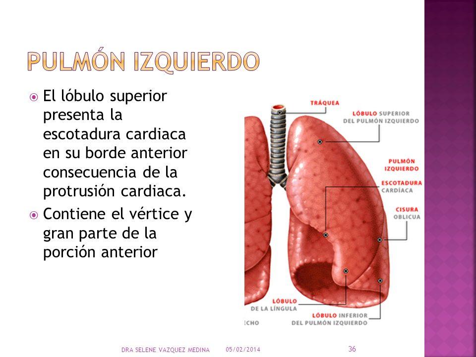 Pulmón izquierdoEl lóbulo superior presenta la escotadura cardiaca en su borde anterior consecuencia de la protrusión cardiaca.