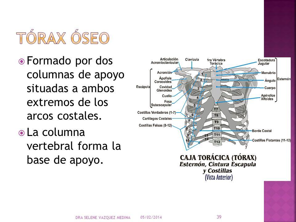 Tórax óseo Formado por dos columnas de apoyo situadas a ambos extremos de los arcos costales. La columna vertebral forma la base de apoyo.