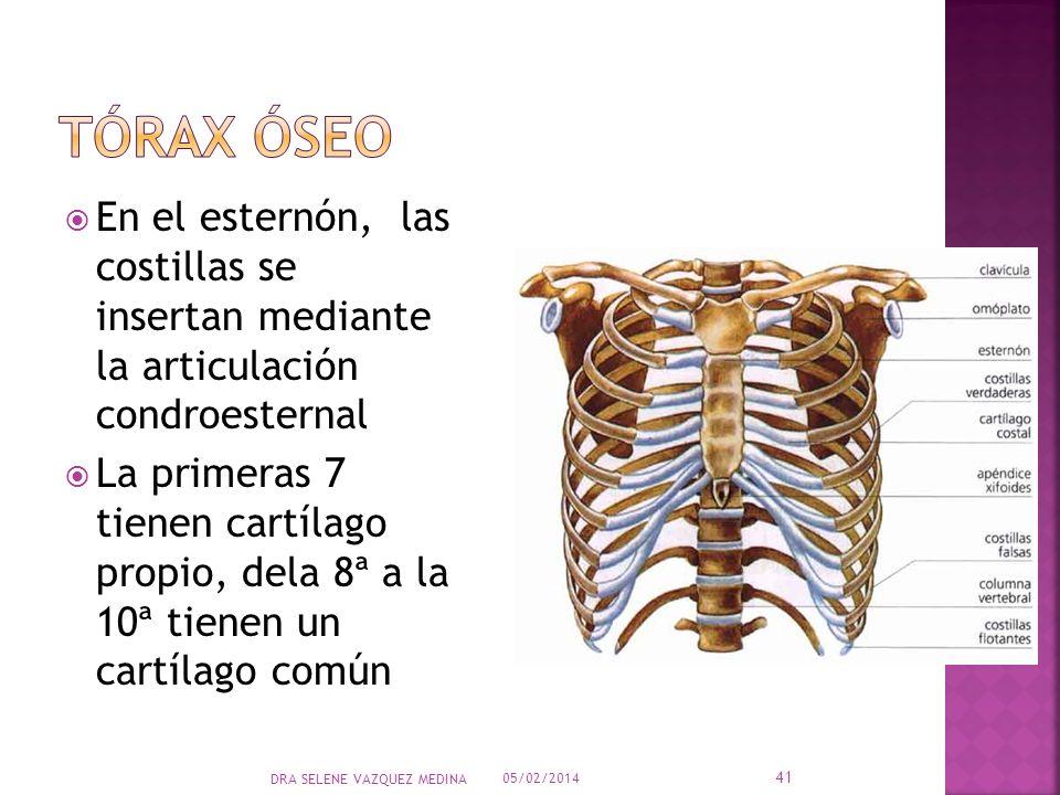 Tórax óseo En el esternón, las costillas se insertan mediante la articulación condroesternal.