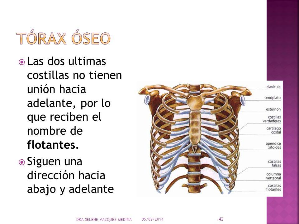 Tórax óseo Las dos ultimas costillas no tienen unión hacia adelante, por lo que reciben el nombre de flotantes.