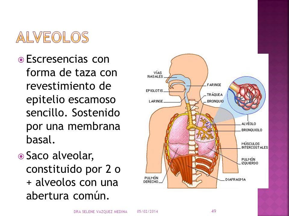 alveolos Escresencias con forma de taza con revestimiento de epitelio escamoso sencillo. Sostenido por una membrana basal.