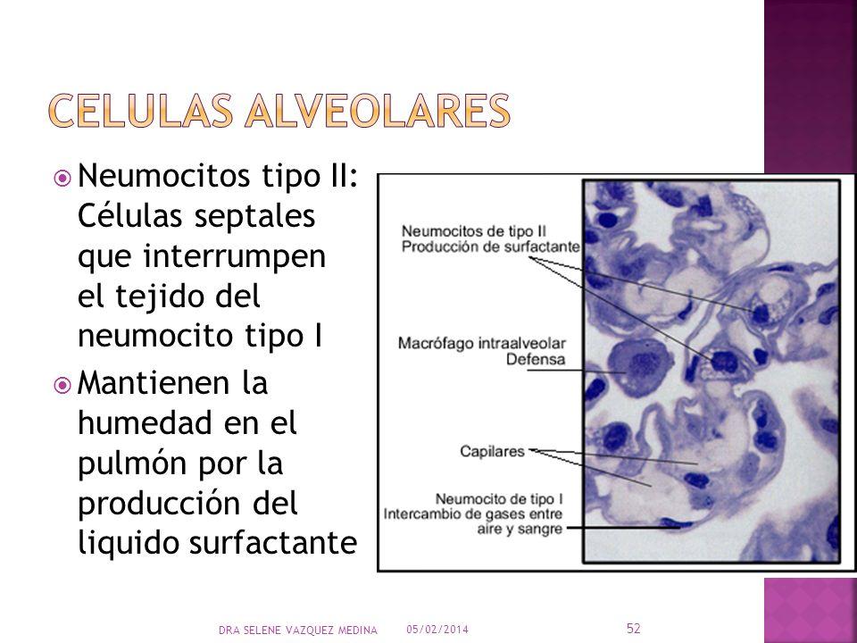 Celulas alveolares Neumocitos tipo II: Células septales que interrumpen el tejido del neumocito tipo I.
