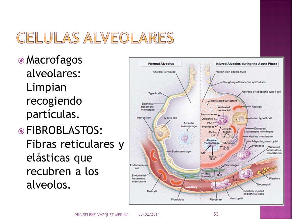 CELULAS ALVEOLARES Macrofagos alveolares: Limpian recogiendo partículas.
