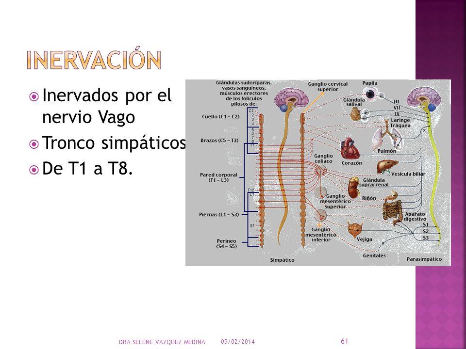 inervación Inervados por el nervio Vago Tronco simpáticos De T1 a T8.