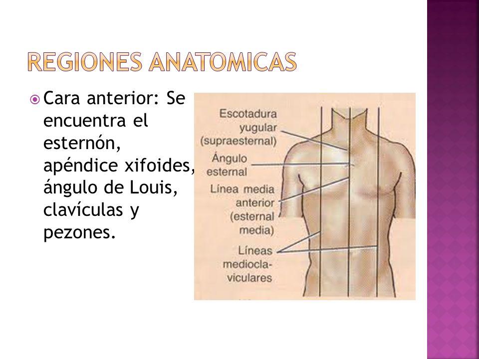 REGIONES ANATOMICAS Cara anterior: Se encuentra el esternón, apéndice xifoides, ángulo de Louis, clavículas y pezones.