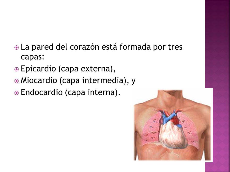 La pared del corazón está formada por tres capas: