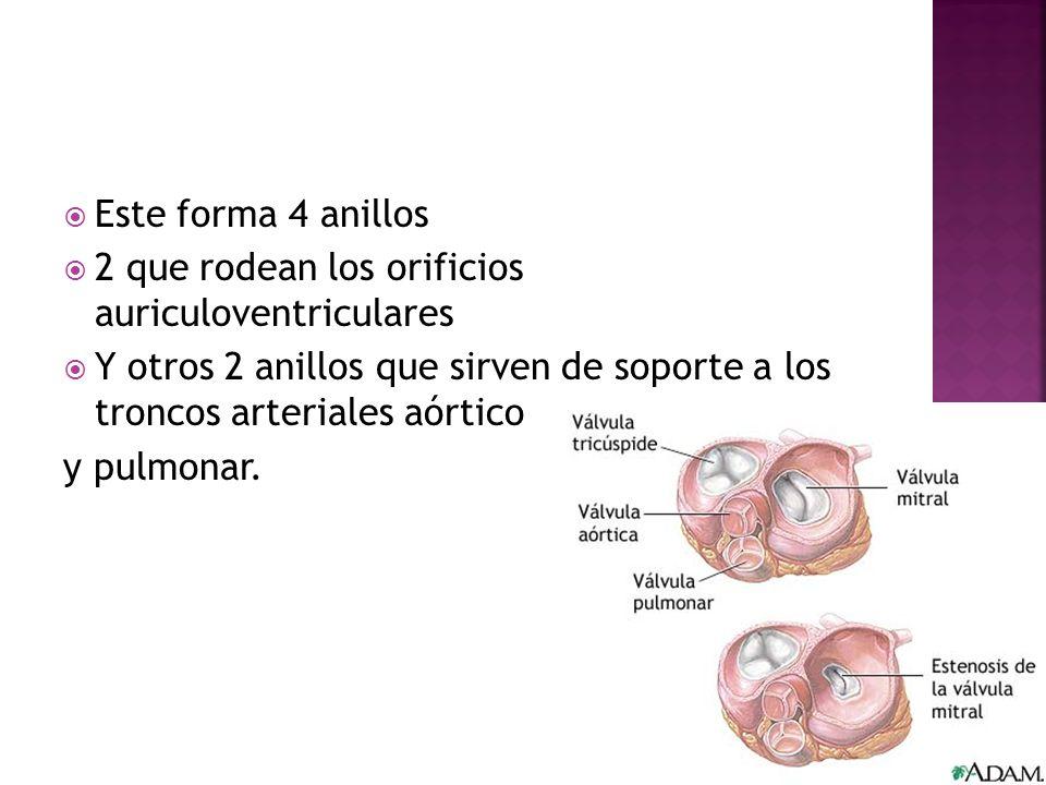 Este forma 4 anillos 2 que rodean los orificios auriculoventriculares. Y otros 2 anillos que sirven de soporte a los troncos arteriales aórtico.