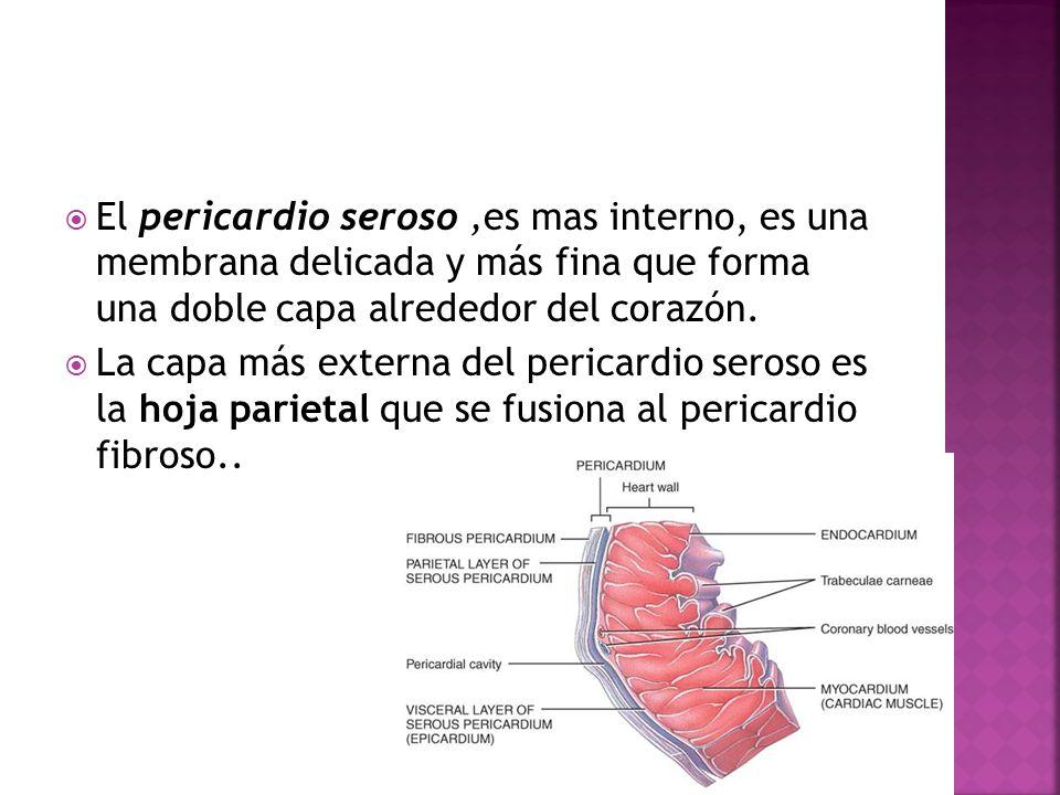 El pericardio seroso ,es mas interno, es una membrana delicada y más fina que forma una doble capa alrededor del corazón.