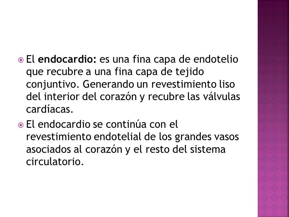 El endocardio: es una fina capa de endotelio que recubre a una fina capa de tejido conjuntivo. Generando un revestimiento liso del interior del corazón y recubre las válvulas cardíacas.