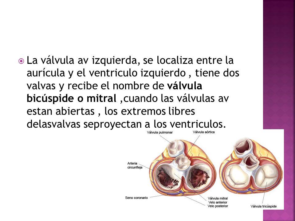 La válvula av izquierda, se localiza entre la aurícula y el ventriculo izquierdo , tiene dos valvas y recibe el nombre de válvula bicúspide o mitral ,cuando las válvulas av estan abiertas , los extremos libres delasvalvas seproyectan a los ventriculos.