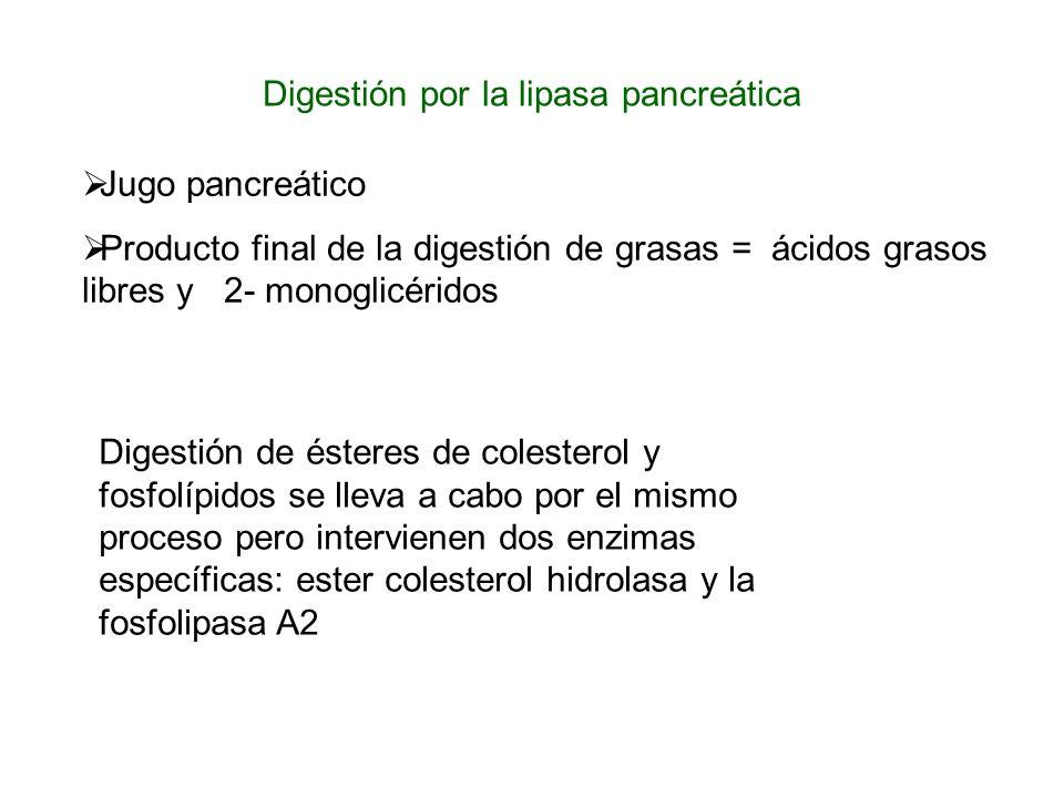Digestión por la lipasa pancreática