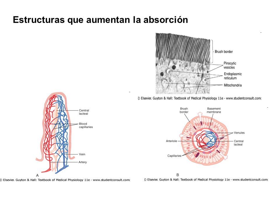 Estructuras que aumentan la absorción