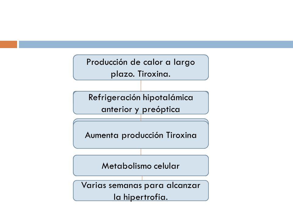 Producción de calor a largo plazo. Tiroxina.