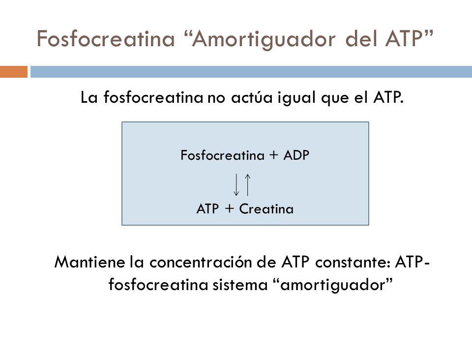 Fosfocreatina Amortiguador del ATP