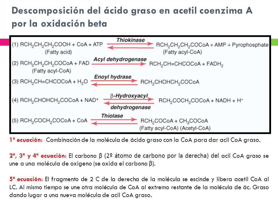 Descomposición del ácido graso en acetil coenzima A por la oxidación beta