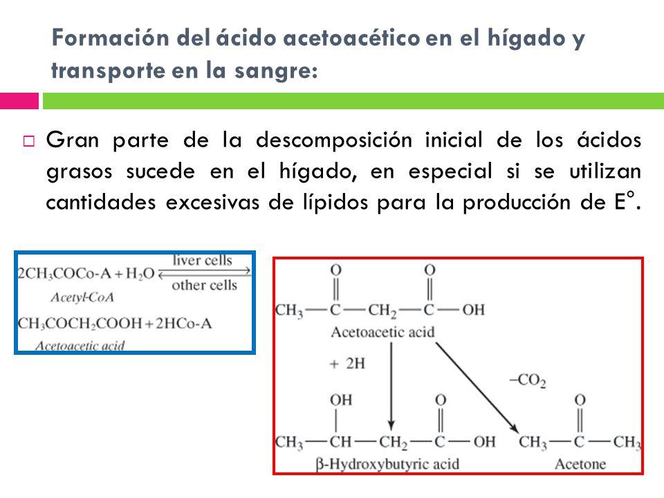 Formación del ácido acetoacético en el hígado y transporte en la sangre: