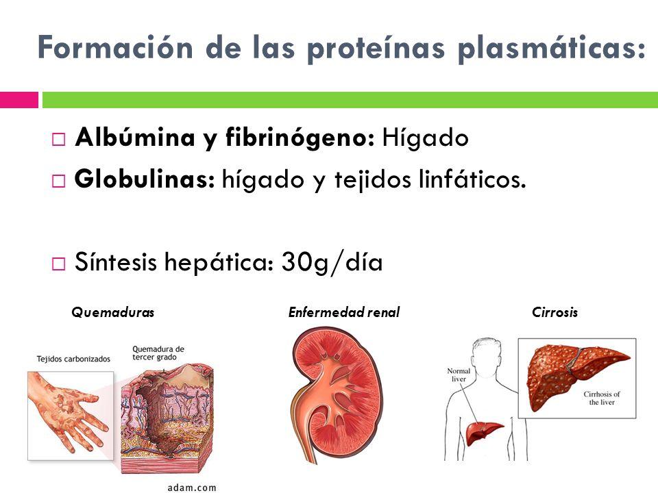 Formación de las proteínas plasmáticas:
