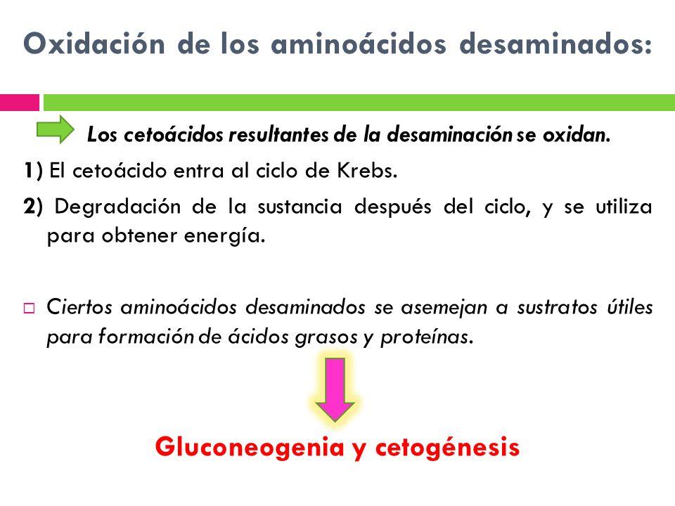 Oxidación de los aminoácidos desaminados: