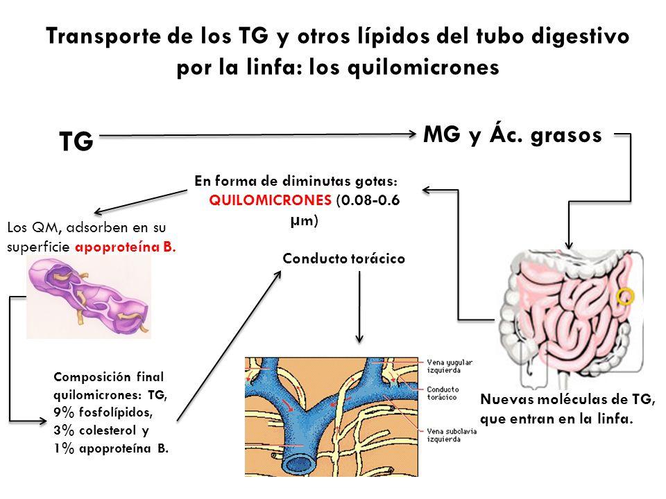 Transporte de los TG y otros lípidos del tubo digestivo por la linfa: los quilomicrones