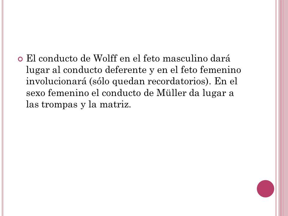 El conducto de Wolff en el feto masculino dará lugar al conducto deferente y en el feto femenino involucionará (sólo quedan recordatorios).
