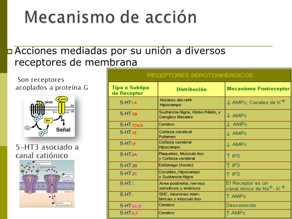 Acciones mediadas por su unión a diversos receptores de membrana