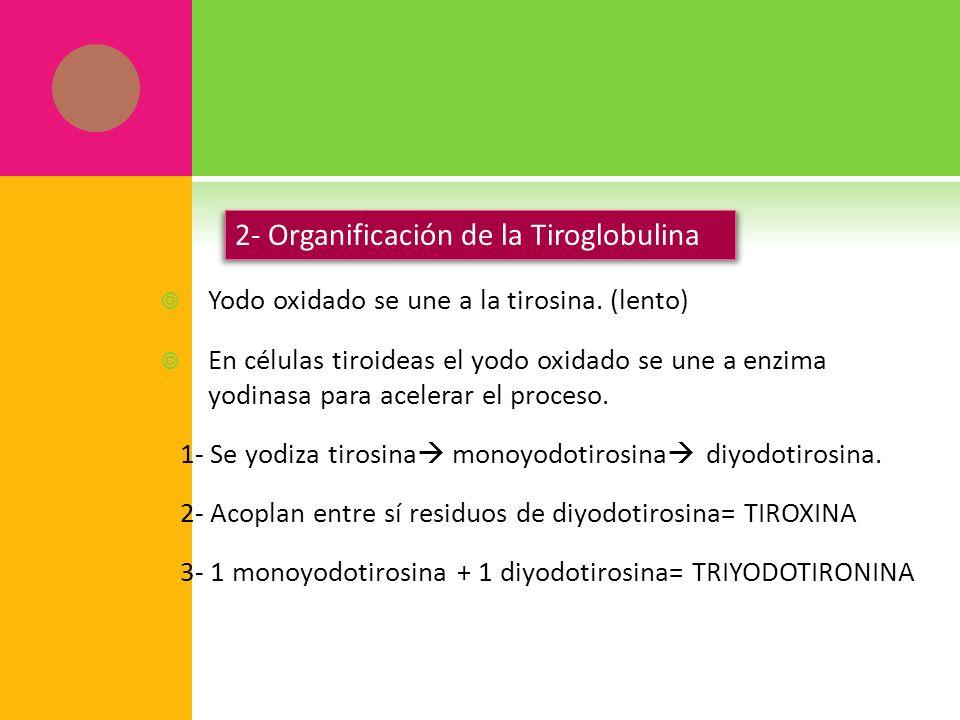 2- Organificación de la Tiroglobulina