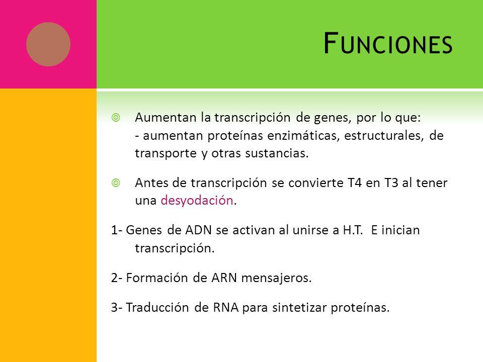 Funciones Aumentan la transcripción de genes, por lo que: - aumentan proteínas enzimáticas, estructurales, de transporte y otras sustancias.