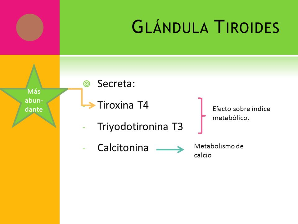 Glándula Tiroides Secreta: Tiroxina T4 Triyodotironina T3 Calcitonina